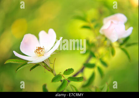 Dog Rose, Rosa canina, Rosaceae, Rascino Plateau, Rieti, Lazio, Italy - Stock Photo