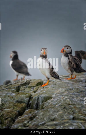 An Atlantic puffin (Fratercula arctica) looks straight at the camera as it stands on a rocky ledge with 2 other - Stock Photo