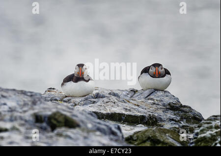 Two Atlantic Puffins (Fratercula arctica) perching perch perched on a rocky ledge with defocused sea behind. - Stock Photo