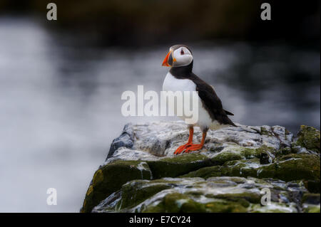 A single lone one Atlantic Puffin (Fratercula arctica) stands perches standing perching on a rock with blurred sea in background
