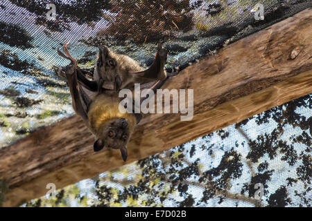Madagascar Flying Fox or Madagascar Fruit Bats (Pteropus rufus) hanging in a barn, Madagascar - Stock Photo