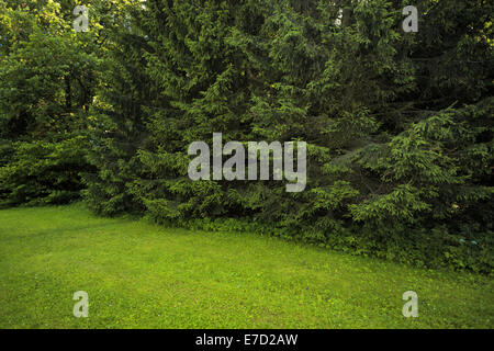 Forest landscape with meadow and pine trees photographed in the afternoon - Stock Photo
