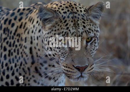 Leopard in Namibia, safari in Africa - Stock Photo