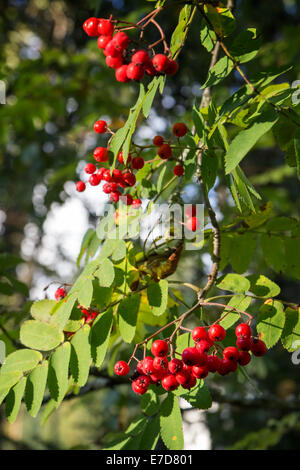 Several bunches of red and ripe rowanberries hanging from a Rowan tree (Sorbus aucuparia) outdoors