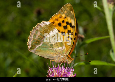 Wings folded to show the underside, a silver washed fritillary, Argynnis paphia, nectars on knapweed - Stock Photo