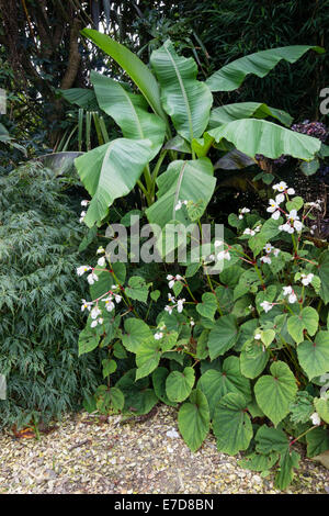 Corner of an exotic Plymouth garden with  Musa basjoo, Acer palmatum dissectum and Begonia grandis var. evansiana - Stock Photo