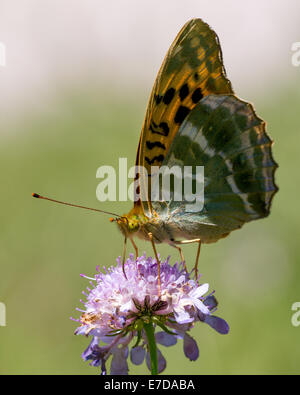 A Silver-washed Fritillary butterfly (Argynnis paphia) nectaring in afternoon sun on scabious in the Combe de Caray - Stock Photo