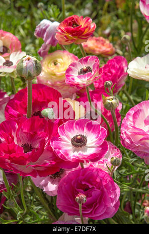 Colorful Ranunculus flowers - Stock Photo