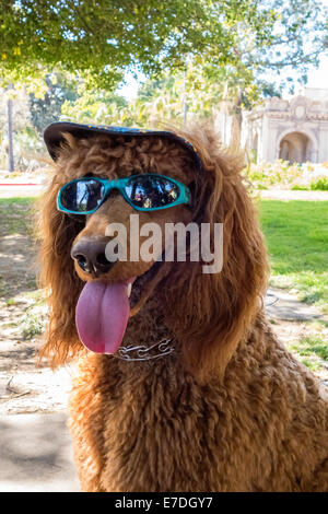Dressed-up dog in the park, San Diego, California - Stock Photo