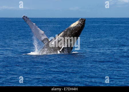 A humpback whale breaches off the coast of Maui, Hawaii.  The humpback whale migrates to the warm Hawaiian waters - Stock Photo