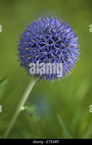 globe thistle, echinops spec. - Stock Photo