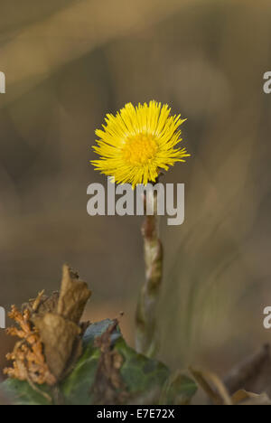 coltsfoot, tussilago farfara - Stock Photo