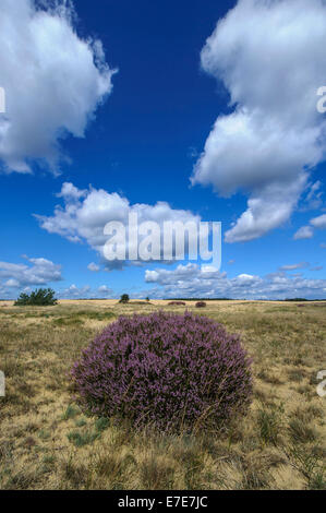 common heather (calluna vulgaris) in hoge veluwe national park, gelderland, netherlands - Stock Photo