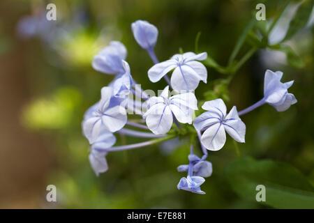 Plumbago auriculata. Cape leadwort flowers. - Stock Photo