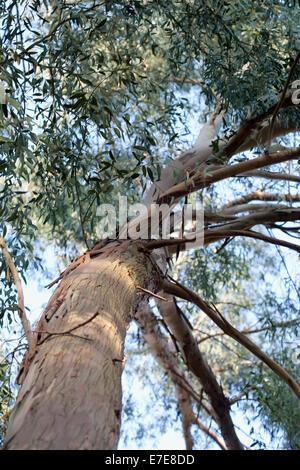 Eucalyptus archeri - Stock Photo
