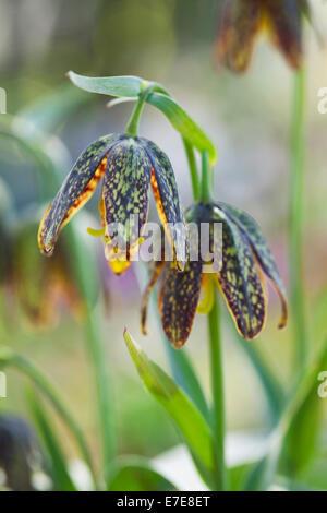 Fritillaria affinis - Stock Photo