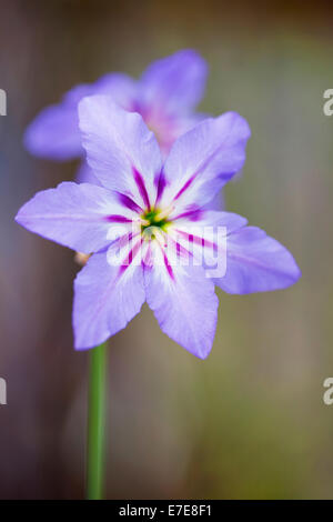 Leucocoryne purpurea - Stock Photo