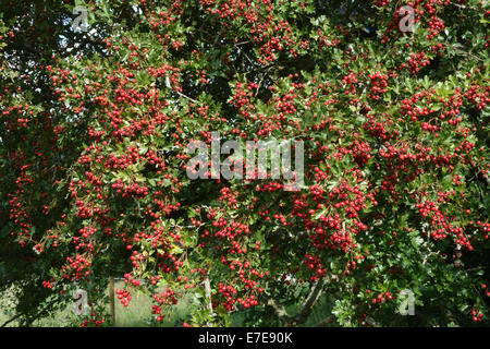 Hawthorn, quickthorn or May tree, Crataegus monogyna with plentiful ripe red berries in late summer - Stock Photo