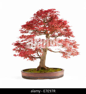 Bonsai Acer Palmatum 'Deshojo' (Japanese Red Maple) - Stock Photo