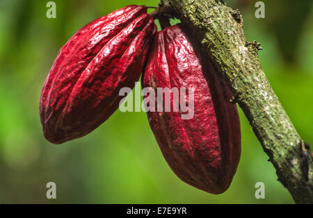 COCOA BEAN [ Theobroma cacao ] PODS ON A TREE IN THE WEST INDIES Stock Photo