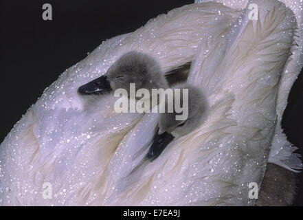 CYGNETS ASLEEP ON A SWANS BACK COVERED BY WATER DROPLETS FROM  THE RAIN - Stock Photo