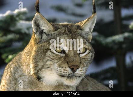 EURASIAN  LYNX IN THE PINES WITH SNOW A  PORTRAIT - Stock Photo