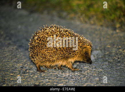 HEDGEHOG CROSSING A ROAD - Stock Photo