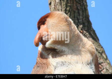 Mature male Southeast Asian Proboscis or long nosed monkey (Nasalis larvatus)   close-up of the head, turned sideways - Stock Photo
