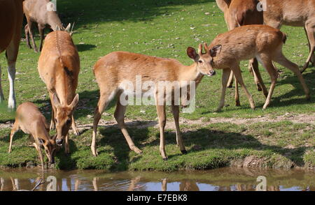 Group of Eld's deer ( Panolia eldii, (Ru)Cervus Eldii) a.k.a. brow-antlered deer in Burgers' Zoo, Arnhem, The Netherlands - Stock Photo