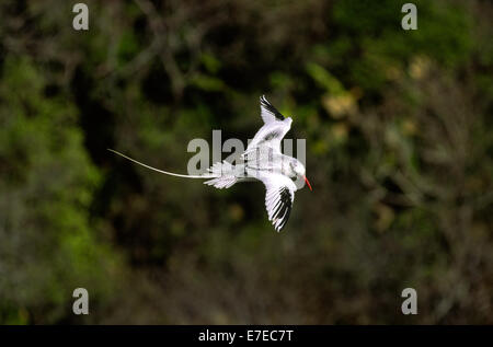 RED BILLED TROPIC BIRD  (Phaethon aethereus) FLYING OVER A FOREST IN TOBAGO WEST INDIES - Stock Photo