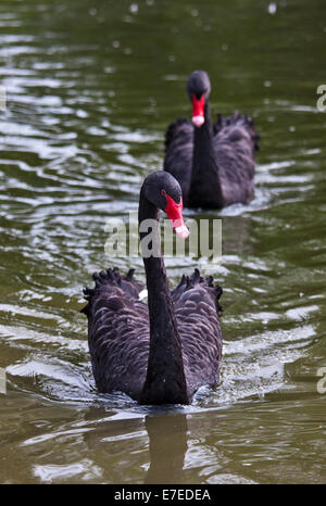 Two Australian Black Swans (Cygnus atratus), UK - Stock Photo