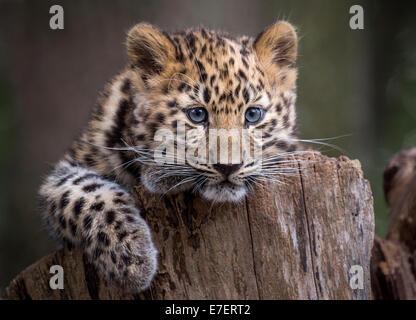 Female Amur leopard cub on tree stump