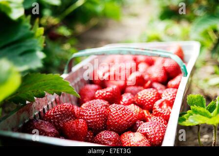 Basket full of freshly picked strawberries laying on the ground on organic plantation. - Stock Photo