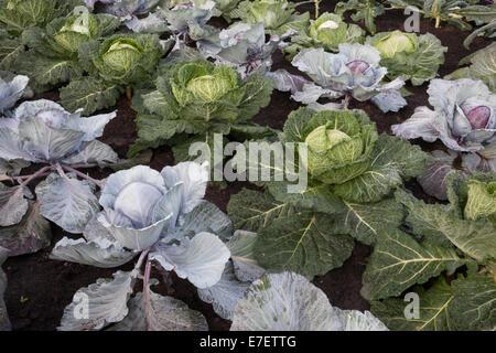 RHS Hampton Court Flower show 2014 Britain in Bloom garden vegetable garden with different varieties of cabbage - Stock Photo