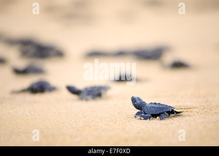 Newly hatched Olive Ridley sea turtles head out to the Pacific Ocean on the Ixtapilla, Michoacan beach in Mexico. - Stock Photo