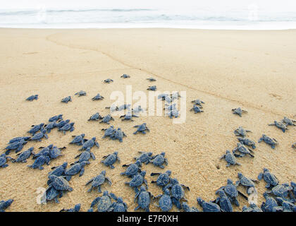 Newly hatched Olive Ridley sea turtles head out to the Pacific Ocean on the Ixtapilla, Michoacan beach in Mexico - Stock Photo