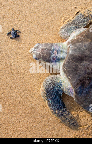 An adult Olive Ridley sea turtle crawls ashore near a newborn in Ixtapilla, Michoacan, Mexico. - Stock Photo