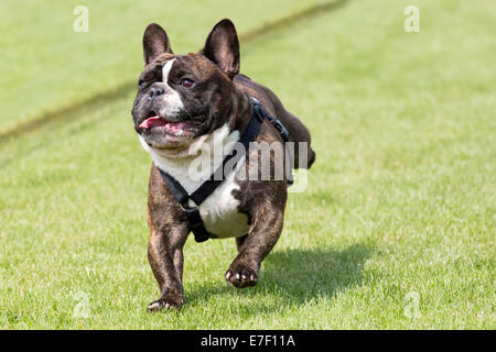 French bulldog  runs on a lawn - Stock Photo