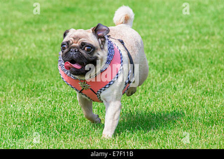 Running pug dog with fancy dirndl dress and  Edelweiss brooch on Oktoberfest - Stock Photo