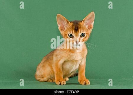 Abyssinian kitten, ruddy - Stock Photo
