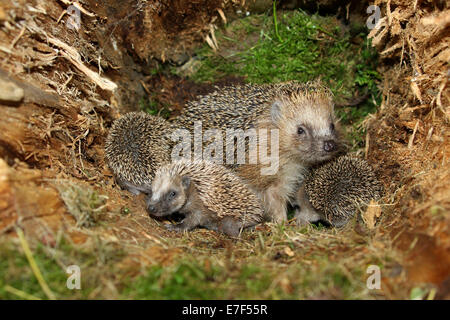 European Hedgehog (Erinaceus europaeus) with young, 19 days, in the nest in an old tree stump, Allgäu, Bavaria, - Stock Photo