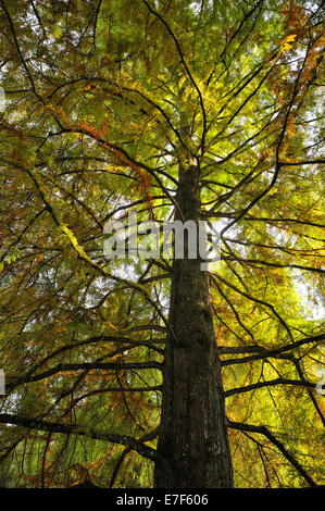 Giant Sequoia (Sequoiadendron giganteum) in autumn colours, from below, Mainau, Baden-Württemberg, Germany - Stock Photo