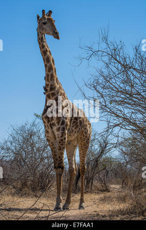 Giraffe bull looking off to the side against a blue sky - Stock Photo