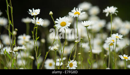 Mass of common British wildflowers - white oxeye daisies, Leucanthemum vulgare, against dark background, near Bamford - Stock Photo