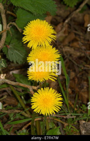Cluster of bright yellow flowers of dandelion, Taraxacum officinale, a common weed / wildflower, - Stock Photo