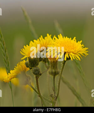 Cluster of bright yellow flowers of dandelion, Taraxacum officinale, a common weed / wildflower, at Spurn Point - Stock Photo