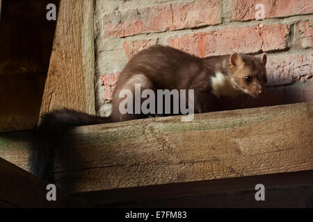 Beech marten / stone marten / white-breasted marten (Martes foina) hunting in barn - Stock Photo