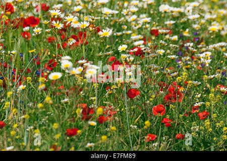 Colourful wildflowers, herbs and weeds flowering in field in spring - Stock Photo