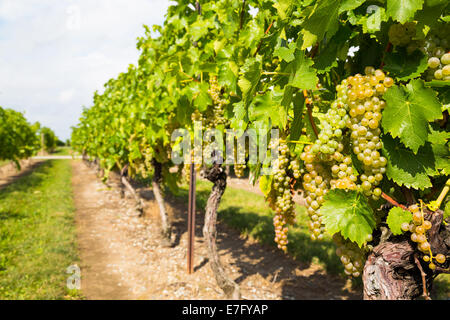 View of a Green Grape Plantation with focus on grapes in foreground - Stock Photo