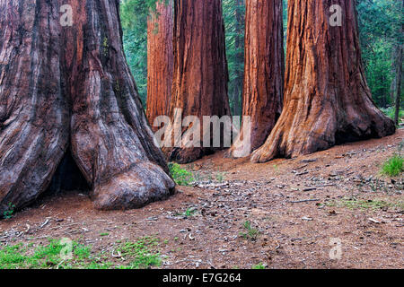The Mariposa Grove of Giant Sequoia Trees in California's Yosemite National Park include the Bachelor and Three - Stock Photo